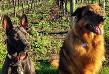 We Love Our Dogs .... / Our dogs ... and dogs that stop for a visit at hope & grace wines! #welovedogs #Yountville #napavalley