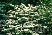 Kasvit - Puuvartiset