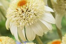 Kasvit - Echinacea