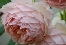 Kasvit - Rosa