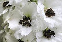 Kasvit - Delphinium