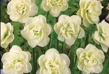 Kasvit - Narcissus