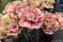 Kasvit - Dianthus