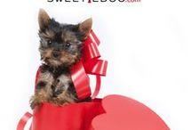 Saint Valentin chien Valentines Sweetie Dog www.sweetiedog.com / Accessoires et vêtements Saint Valentin pour chiens Sweetie dog / valentine's day for dog www.sweetiedog.com #valentinedog #dog #puppy #dogdress #dogaccessories