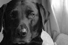 Labrador Love / Because who doesn't love Labradors? / by Heidi | I like I wish I heart