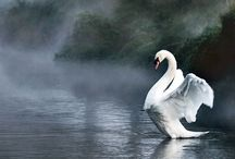 Swan / by Mindy Whipple