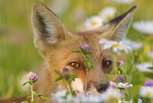 """Foxy / """"A fox teaches us that sometimes to see the truth, we must disappear into the background and become invisible."""""""