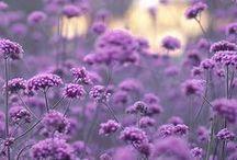 Because, Purple