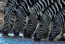 Zebras / Moving pedestrian crossings