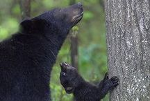 Black Bears / Forest rulers