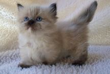 Midget Cat's (Cute!) / (Cute!!)