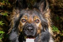 A1K9 Dogs / Family Protection Dogs at A1K9, the UK's leading suppliers of highly trained personal and family protection dogs. www.a1k9.co.uk