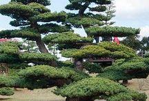 Bonsai ogrodowe
