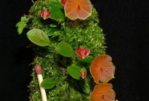 Lepanthes