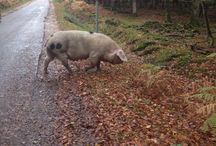 New Forest Pannage Season / Pigs in the New Forest