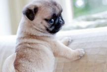 JUST FOR MY BOY...PUGS.