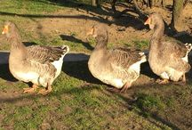 My Toulouse geese <3