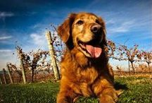 Winery dogs - worldwide / What's a winery without a winery dog? Here you find some great ones from all over the world!
