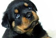 Rottweiler / Ewert❤️