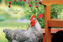Healthy Happy Flock / We raise chickens that know what Vermont grass is. We believe in the benefits of happy healthy chickens.  Are you interested in a healthy happy flock?  Let's talk flock!  Also online at beanandbantam.com/