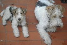 My fox terriers <3 / The fox terriers we'we owned since 2000