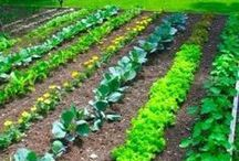 Organic Gardening Tips / Organic gardening tips and tricks to #GrowWithCalO in your own backyard! #GrowWithCalO