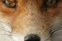 vosjes-foxs