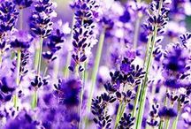 LAVENDER / My dearest lavender, can you even imagine how much I love you? /no, you can´t obviously. Nobody can.../
