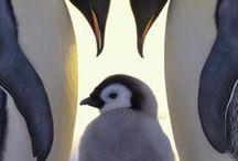 Lov penguins !!!