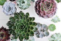Kaktuszkák
