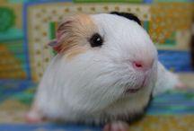Guineapig Lovers - Cuties & Beauties! / Cute Guineapigs!