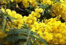 Mimosa en Flor de Casa Grande de Fuentemayor / Durante el mes de febrero de cada año, esta espectacular mimosa florece con todo su esplendor...se puede ver en la entrada principal de Casa Grande de Fuentemayor