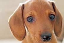 Dachshunds...Weenie Dogs! / My puppies / by Barbie