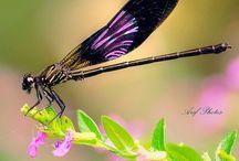 ○○ Dragonflies