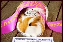 + Guinea Pig Days + / The fabulous life of Fluffy!
