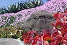 Drought Tolerant Landscape / Plantenders specializes in drought tolerant landscaping - check us out at plantenders.com or in-person at our nursery - 15882 Santiago Canyon Road, Silverado, Orange County, CA.