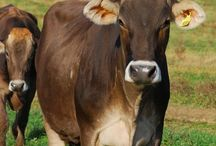 "USA Cattle Breeds #2 ^^^ /  1-Barzona Origin: USA (Arizona). Developed in the 1940's from Afrikander, Angus, Hereford, and Shorthorn. Type: Meat. Flavor: No reliable information can be found. Size: Medium. Color: Red, sometimes white. Horns: Polled or Horned. Temperament: ""good, and they are easy to handle"" Notes: Excellent in heat and drought.  >>>>>>>>>>>>>>>>>>>  2-Beefalo, also referred to as cattalo or the American hybrid, are a fertile hybrid offspring of domestic cattle (Bos taurus), usually a male in managed breeding programs, and the American bison (Bison bison), usually a female in managed breeding programs. The breed was created to combine the characteristics of both animals for beef production. Beefalo XJ-B1 Beefalo.jpg Beefalo bull Conservation status Domesticated Scientific classification Kingdom: Animalia Phylum: Chordata Class: Mammalia Order: Artiodactyla Family: Bovidae Genus: Bos Bison Species: Bos taurus × Bison bison Beefalo are primarily cattle in genetics and appearance, with the breed association defining a full Beefalo as one with three-eighths (37.5%) bison genetics, while animals with higher percentages of bison genetics are called ""bison hybrids"". History	 Accidental crosses were noticed as long ago as 1749 in the southern English colonies of North America. Beef and bison were first intentionally crossbred during the mid-19th century. The first deliberate attempts to cross breed bison with cattle was made by Colonel Samuel Bedson, warden of Stoney Mountain Penitentiary, Winnipeg, in 1880. Bedson bought eight bison from a captive herd of James McKay and inter-bred them with Durham cattle. The hybrids raised by Bedson were described by naturalist Ernest Thompson Seton The hybrid animal is [claimed] to be a great improvement on both of its progenitors, as it is more docile and a better milker than the Buffalo, but retains its hardihood, while the robe is finer, darker and more even, and the general shape of the animal is improved by the reduction of the hump and increased proportion of the hind-quarters. After seeing thousands of cattle die in a Kansas blizzard in 1886, Charles ""Buffalo"" Jones, a co-founder of Garden City, Kansas, also worked to cross bison and cattle at a ranch near the future Grand Canyon National Park, with the hope the animals could survive the harsh winters. He called the result ""cattalo"" in 1888.Mossom Martin Boyd of Bobcaygeon, Ontario first started the practice in Canada, publishing about some of his outcomes in the Journal of Heredity. After his death in 1914, the Canadian government continued experiments in crossbreeding up to 1964, with little success. For example, in 1936 the Canadian government had successfully cross-bred only 30 cattalos. Lawrence Boyd continues the crossbreeding work of his grandfather on a farm in Alberta. It was found early on that crossing a male bison with a domestic cow would produce few offspring, but that crossing a domestic bull with a bison cow apparently solved the problem. The female offspring proved fertile, but rarely so for the males. Although the cattalo performed well, the mating problems meant the breeder had to maintain a herd of wild and difficult-to-handle bison cows. In 1965, Jim Burnett of Montana produced a hybrid bull that was fertile. Soon after, Cory Skowronek of California formed the World Beefalo Association and began marketing the hybrids as a new breed. The new name, Beefalo, was meant to separate this hybrid from the problems associated with the old cattalo hybrids. The breed was eventually set at being genetically at least five-eighths Bos taurus and at most three-eighths Bison bison. Nutrition characteristics A United States Department of Agriculture study Beefalo meat, like bison meat, to be lower in fat and cholesterol than standard beef cattle. The American Beefalo Association states that Beefalo are better able to tolerate cold and need less assistance calving than cattle, while retaining domestic cattle's docile nature and fast growth rate. They damage rangeland less than cattle. They also state that Beefalo meat contains 4 to 6% more protein and is more tender, flavorful, and nutritious than a standard steer. Beefalo has significantly less calories, fat, and cholesterol, than beef cattle, chicken, and cod. The American Beefalo Association states that the ""crossbreeds are hardier, are more economical (and less care-intensive) to nurture, and produce meat that's superior to that of the common cow.""to Registration	 In 1983, the three main Beefalo registration groups reorganized under the American Beefalo World Registry. Until November 2008, there were two Beefalo associations, the American Beefalo World Registry and American Beefalo International. These organizations jointly formed the American Beefalo Association, Inc., which currently operates as the registering body for Beefalo in the United States. Effect on bison conservation	 Most current bison herds are genetically polluted or partly crossbred with cattle. There are only four genetically unmixed American bison herds left, and only two that are also free of brucellosis, the Wind Cave bison herd that roams Wind Cave National Park, South Dakota; and the Henry Mountains herd in the Henry Mountains of Utah. A herd on Catalina Island, California is not genetically pure or self-sustaining. Dr. Dirk Van Vuren, formerly of the University of Kansas, however, points out that ""The bison today that carry cattle DNA look exactly like bison, function exactly like bison and in fact are bison. For conservation groups, the interest is that they are not totally pure."" Cattalo	 The term ""cattalo"" is defined by United States law as a cross of bison and cattle which have a bison appearance; in Canada, however, the term is used for hybrids of all degrees and appearance. In some U.S. states, cattalo are regulated as ""exotic animals"", along with pure bison and deer. However, in most states, bison and hybrids which are raised solely for livestock (meat and sale) purposes similar to cattle, are considered domestic animals like cattle, and do not require special permits.  >>>>>>>>>>>>>>>>>>>  3-Beefmaster cattle are the first American composite breed (combination of three or more breeds). These cattle have been developed by the Lasater Ranch then headquartered in Texas. The breeding program leading to their establishment was started by Ed C. Lasater in 1908, when he purchased Brahman bulls to use on his commercial herd of Hereford and Shorthorn cattle (Beefmaster cattle are 50% Brahman, 25% Hereford, and 25% Milking Shorthorn).  Ranch www.cbsranch.com The first of these bulls that he used were principally of Gir breeding, although some of the Nelore breed were also used. In 1925 he introduced Guzerat blood into the herd.  Mr. Lasater also developed a registered Hereford herd in which the cattle had red circles around each eye. In both his Brahman and Hereford breeding, milk production was stressed. Following his death in 1930, the breeding operations came under the direction of his son, Tom Lasater, who began to combine the breeding of the Brahman and Hereford cattle and also used some registered Shorthorn bulls. After making crosses of Brahman-Hereford and Brahman-Shorthorn, he felt a superior animal had been produced and called the cattle Beefmaster. The exact pedigree of the foundation cattle was not known. The breeding operations were carried on in multiple-sire herds and rigid culling was practiced. The Lasater Ranch estimates that modern Beefmaster have slightly less than one-half Brahman blood and slightly more than one-fourth of Hereford and Shorthorn breeding  >>>>>>>>>>>>>>>>>>>  4-Black Baldy is a type of crossbred beef cattle produced by crossing Hereford cattle with a solid black breed, usually Aberdeen Angus. Angus bulls are also used on Hereford heifers in an attempt to produce smaller calves and reduce dystocia. The term is particularly used in Australia and New Zealand. In North America, the term ""Black Whiteface"" is also used in some regions. It is characterized by a white face similar to the Hereford, but the red body color of the Hereford is replaced by black from the Angus. This is because both the alleles for white faces and black coat color are both genetically dominant in cattle. Black Baldy cows are noted for their good mothering abilities. In addition to general hybrid vigor expected with a crossbred, the cross also produces black skin, which in sunny climates reduces the prevalence of sunburn on bare skin, such as the udder of the cow. The prevalence of Black Baldies significantly increases wherever cattle breeders switch from the traditional Hereford herds to the Aberdeen Angus breed. A cross of Hereford cattle on predominantly black-colored dairy breeds results in a similarly-marked crossbred called the Black Hereford in the British Isles.     >>>>>>>>>>>>>>>>>>>  5,6-The Brahman breed originated from Bos indicus cattle originally brought from India. Through centuries of exposure to inadequate food supplies, insect pests, parasites, diseases and the weather extremes of tropical India, the native cattle developed some remarkable adaptations for survival. These are the ""sacred cattle of India,"" and many of the Hindu faith will not eat meat from them, will not permit them to be slaughtered, and will not sell them. These facts, in conjunction with he quarantine regulations of the United States, have made it difficult to import cattle from India into this country.  >>>>>>>>>>>>>>>>>>>  7-The Brahmousin breed blends the best of Limousin and Brahman characteristics. Purebred Brahmousin are classified as five-eights (5/8) Limousin and three-eights (3/8) Brahman. This mix has been found to be the most widely accepted and most useful for the majority of the United States. However, the American Brahmousin Council offers a flexible program that allows animals that are not purebred to be recorded as long as they are at least one-quarter (1/4) Limousin and one-quarter (1/4) Brahman. It is important to note, that in order to be recorded as a Brahmousin, the animal must be sired by a registered Limousin bull, registered Brahman bull or a registered Brahmousin bull.  >>>>>>>>>>>>>>>>>>>  8-Most dairy historians agree that Brown Swiss or Braunvieh cattle are the oldest of all dairy breeds. The beautiful brown cows were developed in the north-eastern part of Switzerland. Bones found in the ruins of Swiss lake dwellers date back to probably 4000 BC, and have some resemblance to the skeleton of today's Brown Swiss cow. Documentary evidence shows that the Benedictine monks residing at the Einsiedeln Monastery started breeding these cattle as early as approximately 1000 years ago. The canton of Schwyz was the scene of most of the early improvement of the Brown Swiss, and in Switzerland the breed is often referred to as Schwyer or Brown Schwyzer.  All the cantons in which the breeds originated are inhabited by German speaking people, and apparently large cattle were brought in from Germany to improve the cattle of Switzerland, which until about 1860 were often lacking in size. And for that fact the Swiss Brown is also known as Braunvieh.  Many people refer to Braunvieh as Brown Swiss and want to know the difference between the two. Brown Swiss dairy cattle were in fact developed from the Braunvieh beef cattle. Braunvieh was an extremely good milking beef breed and, many years ago, some animal breeders selected the best milking Braunvieh and began breeding these selected individuals for milk production. After many generations the dairy type was developed, and thus the Brown Swiss dairy cattle.  Switzerland, the native home of the Brown Swiss is a very rough and mountainous country with a total area of about 15,940 square miles. However, approximately 25 percent of the area is covered with rocks, lakes, rivers, snow-capped mountains, and glaciers, and there are only about eight million acres of productive land of which one half is used for hay and pasture. Switzerland has been noted as a cheese producing country for many years, and in the summer many of the dairy herds are taken into the mountainous regions and are grazed on the abundant pastures and meadows that result from the heavy rainfall. terrain and weather has produced a cattle breed world renowed for many definitive characteristics. Today the Brown Swiss is the second largest dairy breed in the world with a reported over 8 million registered cattle and the world population estimated at over 14 million head. Characteristics The Brown Swiss or Braunvieh is light brown in colour with a creamy white muzzle and dark noze, dark-blue eye pigmentation which helps the breed to resist extreme solar radiation. Brown Swiss cattle have been bred horned and polled, when horned the horns are short and white growing dark towards the top. Brown Swiss are robust, a prolific breeder, long-lived, strong, adaptable, and very well-balanced in build with good hooves and limbs. This breed has a double utility as they are used for dairy and beef purposes providing good milk and meat output.  Milk producers throughout the world are adding Brown Swiss to their herds daily, because of the good milk, protein, and butter fat production. Their correct feet and legs allow them to stay in the milking herd for more lactations than many other breeds. The milk of the Brown Swiss cow is coveted by cheese makers. The volume of milk plus the protein produced by Brown Swiss makes the best milk for the fluid and cheese markets. Brown Swiss breeders benefit from the best fat-to-protein ratio of any of the dairy breeds for production of most cheeses. Statistics www.holsteinworld.com Close protein/fat ratio - Brown Swiss milk possesses the closest protein/fat ratio of any dairy breed. Feet and legs - Properly structured legs allies to strong, hard, black, well formed feet, that mean Brown Swiss cattle have few problems. No doubt this is one of the key qualities that enable many Brown Swiss to continue producing in the herd until they are 12-15 years of age. Quiet Temperament - Dairymen, members of the association, all of whom have worked with a variety of breeds are completely unanimous in their praise of the docile temperament and inquisitive nature of these quiet cattle. Longevity - The characteristic longevity of the breed is very evident in the Brown Swiss. While the breed tends to be later maturing than other breeds, cows tend to reach their peak in 5th or later lactations. Some breeds find it difficult to reach this stage, while the strength of the Brown Swiss allows them to lead long productive lives. Strength & Hybrid Vigour - Brown Swiss cows are cattle of great substance and strength. The experience of having cows 'go down' with metabolic problems or any other reason is rare amongst Brown Swiss owners. Brown Swiss are renowned for their role when crossed with other dairy breeds or for that fact with beef breeds as well, in generally improving the production and strength of the parent breed. This is evident throughout the world from the tropics to the alpine regions. Braunvieh bulls are noted for their scrotal and testicular development at a young age and are capable, fertile breeders at 12 to 14 months of age. Top 10 Highest Milk Producing Cattle Breeds in The world Sr No.	Names of Cattle Breeds 1	Holstein 2	Norwegian Red 3	Kostroma Cattle Breed 4	Brown Swiss 5	Swedish Red Cattle 6	Ayrshire Cattle 7	Angeln Cattle 8	Guernsey Cattle Breed 9	Milking Shorthorn Cattle Breed 10	Pie Rouge des Plaines Cattle Breed Brown Swiss is a North American breed of dairy cattle. It derives from the Alpine Braunvieh. After the Holstein Friesian, it has the second-highest annual milk yield, over 9,000 kg (20,000 lb) per annum. The milk contains on average 4% butterfat and 3.5% protein, making their milk excellent for production of cheese. The Brown Swiss is known for a long gestation period, immense size, large furry ears, and an extremely docile temperament. Regardless, the Brown Swiss is quite a resilient breed of cattle; they are hardy and capable of subsisting with little care or feed. Origins	 The Brown Swiss originated on the slopes of the Alps in Switzerland; because they were bred in this harsh climate, they are resistant to the heat, cold and many other common cattle problems. In 1949, animal scientist Hilton M. Briggs postulated the original population of cattle in the European Alps were improved with Pinzgauer blood. The hypothesis was based on an incomplete knowledge of cattle color genetics and history.Greater knowledge of the bovine genome has disproved that conjecture. The conventional, American breed known as Brown Swiss is actually quite different from the original Schwyzer Braunvieh cattle bred in Switzerland around the end of the 17th and 18th centuries. The first cows and bulls of the breed that became later known as Brown Swiss were imported from Switzerland into the United States by Henry M. Clark in the winter of 1869—William Tell, the bull, and seven cows called Zurich, Lucerne, Gretchen, Brinlie, Lissa, Christine, and Geneva. 25 bulls and 140 cows total were imported from Switzerland to America. While not an uncommon breed to find as the basis of a pure-blooded herd, the Swiss is also commonly encountered as a pet or token example on larger farms with mostly Holstein or Jersey cattle. Characteristics	 Normally large with large fuzzy ears. They are also very resistant to heat and cold, and have a docile and kind nature. Milk of the Brown Swiss is unique as well, having longer-chain fatty acids than other popular dairy breeds and smaller fat globules in the cream; this difference means that cream rises much more slowly in milk from Brown Swiss cows. This difference, and the ratio of protein to fat in the milk, is ideal for cheesemaking.This breed is a soft-looking creamy brown.  >>>>>>>>>>>>>>>>>>>  9-The BueLingo (aka Buelingo) began in North Dakota in the 1970's with a foundation group of general Shorthorn-type cows belonging to Russ Bueling. Introduction of a Dutch Belted bull provided the signature coat marking of a white belt wrapping entirely around the body. Chianina admixture initially led to better beef muscling. The Angus, the Limousin, and the Belted Galloway have also played a part in development.  >>>>>>>>>>>>>>>>>>>  10-Origin and history In January 1972 the first Chianina × Angus calf was born on the Tannehill Ranch near King City in California USA. In 1976 the American Chianina Association established a Chiangus Register. By 1993 Chiangus had won more steer championships than had most other 100-year-old registered beef cattle breeds in their entire existence. The exceptional rise of Chiangus in the USA has now reached a point of all but total dominance of the major steer shows throughout the country. A similar trend has emerged in Australia over the past several years: In 1978 Chiangus steers won Champion and Reserve Champion at the South Australian Beef Carcase Competition. In 1986 the Chiangus Stud Herd Book was opened in Australia, and in that year a Chiangus steer was Champion in Rockhampton, and the breed won the Champion Heavyweight Carcase and Grand Champion Steer in the Queensland Prime Cattle Championships. In 1989, Champion Heavyweight Steer was achieved by Chiangus at the Royal Brisbane Show. Numerous other 'Hoof and Hook' events have since been won by Chiangus. Breed characteristics Chiangus are black, polled or scurred Chianina × Angus cattle, having no less than one-quarter of either breed and no more than three-quarters of either breed. Chiangus function well in hot, humid climates, and also have the ability to withstand extreme cold. Bulls are large, fast-growing masculine animals of the Chianina type, but are, of course, black. They mature to a weight of 1200 kg at 3 years of age. They serve an above average number of cows and are prolific 'calf-getters'. Cows are large framed and well shaped, retaining their femininity. They calve easily, have an ample well-set udder, and raise fast-growing calves. Steers are smooth well-muscled animals with a big butt and large eye muscle. They mature at an early age. The carcase is well suited for the local market at 6–8 months, and for the export market at 20–24 months. Commercial application The breed can be adapted to any breeding situation. The type and confirmation can be varied depending on the percentage of the bloodlines. The foundation cattle must either be full blood or upgraded Chianina, or straight-bred Angus. If straight-bred Angus are used as foundation animals, they do not have to be registered in the Australian Angus Herdbook. Crossbred Angus and percentage Chianina used in a Chiangus breeding program must be Chianina × Angus crosses. When Chiangus bulls are used on cows of other breeds and crosses, an additional hybrid kick is achieved.        Among cattle introduced since 1697 to Baja California, Mexico, some varieties were notable in that once established, they were exposed to the dry environment of the region for many generations, and natural selection produced the creole cattle known locally as Chinampo, a small, rustic animal. At present about 30,000 Chinampo cattle are scattered in small ranches. Chinampo cattle in Baja California are kept using a system of extensive pasturing in marginal areas that are less appropriate for exploiting specialized breeds. The body weight of a cow averages from 115 kg at age 1 year, to 255 kg at 6 years and above. Bulls weigh from 130 kg at age 1 year, up to 345 kg at 4 years and above. Females average a length of 95 cm, which increases to 139 cm at 6 years and above. Bulls of age 1 year average 98 cm, while bulls of 4 years or greater measure 128 cm.The wither height of females varies from 101 to 117 cm in animals from 1 year to 6 years or more, respectively. In bulls, the wither height fluctuates between 100 cm in animals of 1 year, up to 120 cm at 4 years or more. The hair coloration of 30% of the animals is uniform, while the rest show a combination of two or three colors. Criolo type; usually white with black markings."