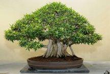 Bonsai trees / Bonsai