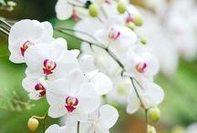 Orchid Plants / Orchids are one of the largest and most diverce groups of plants. Orchids can be found throughout the world and can live in different habitats.