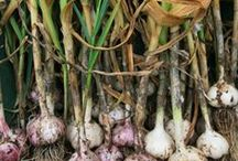 Bulbs / There are many different kinds of bulbs such as tulips. Bulbs should be planted as soon as possible after bringing them home.