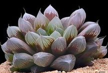 Haworthia / Haworthia is a genus of small succulent plants endemic to Southern Africa. Like the Aloes, they are members of the subfamily Asphodeloideae and they generally resemble miniature aloes, except in their flowers, which are characteristic in appearance.