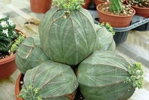 Euphorbia / Succulent species of Euphorbia originate mostly from Africa, the Americas and Madagascar.