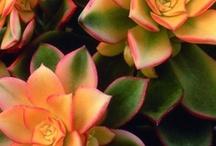 Aeonium & Sempervivum / Aeonium and Sempervivum (Hen & Chicks) are genera of succulent, subtropical plants of the family Crassulaceae.