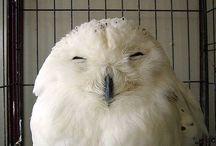 Pöllöjä Owls / Owls Owls