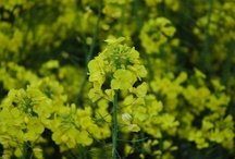 Hall Farm / Hall Farm grows oil seed rape, wheat and sugar beet across 5,000 acres of land, and is home to our storage barns, dryer, offices and production and bottling plant.