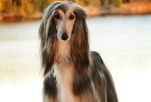 Afghan Hound / The Afghan Hound is a hound that is distinguished by its thick, fine, silky coat and its tail with a ring curl at the end.