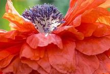 Poppies / poppy images and art