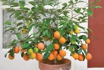 Homegrown Tropical Fruits / It's easier than you think to grow tropical fruit at home.