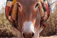 Moroccan Animals