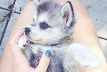 Huskys / Los huskys son el animal mas tierno que existe x3